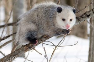 Possum looking for access to a property