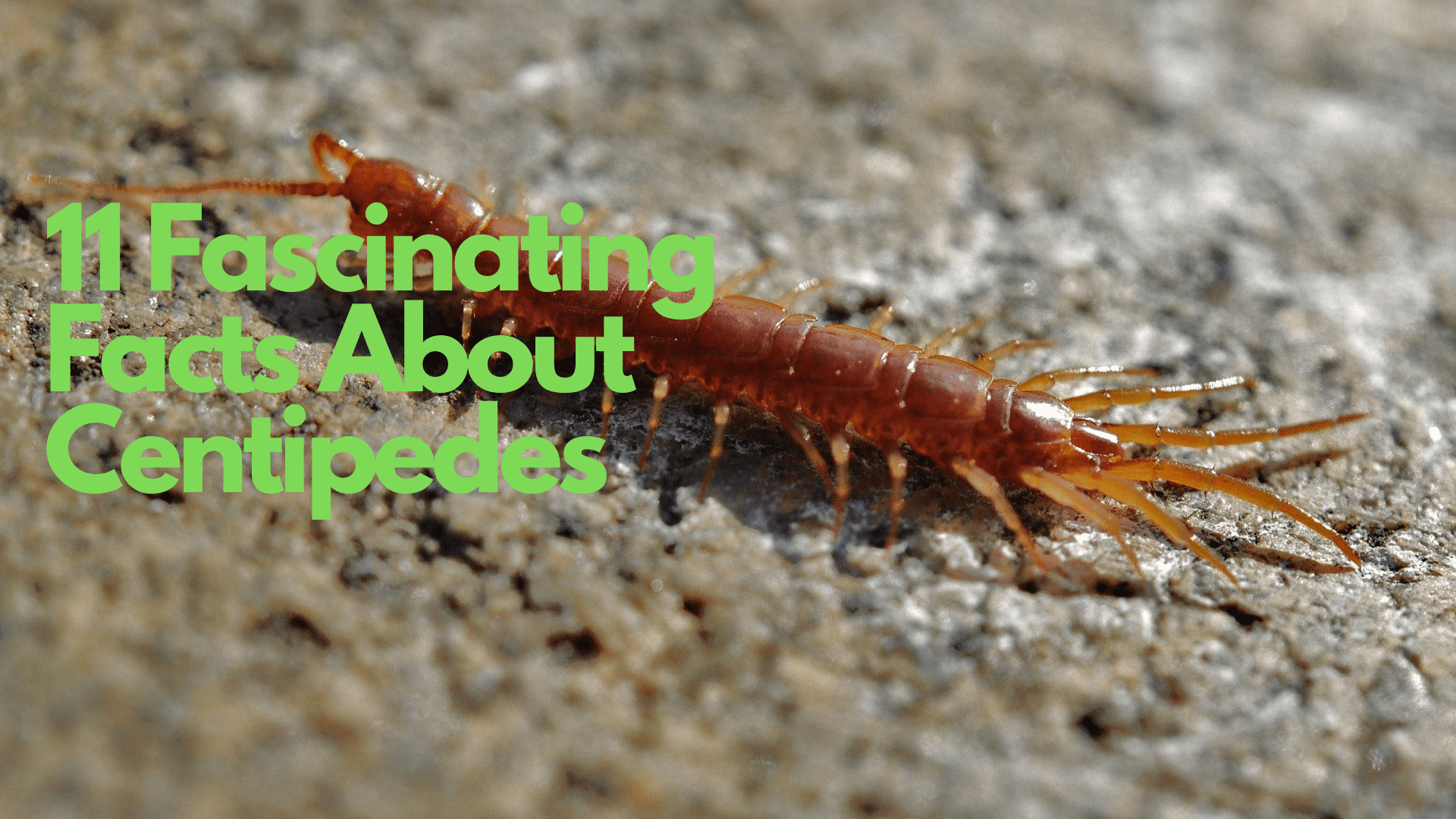 11 Facts about Centipedes