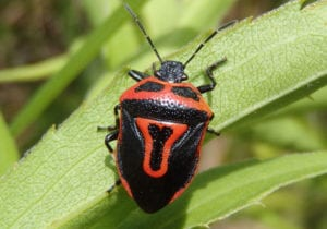 two-spotted-Stink-Bug
