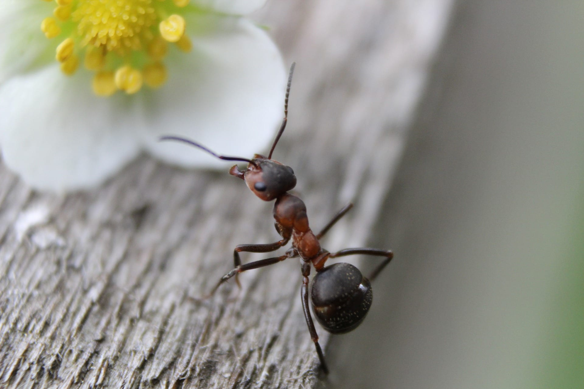 Ant on a flower