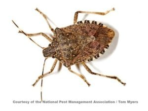 brown-marmorated-stink-bug-