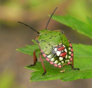 southern-green-stink-bug