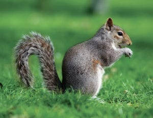 Eastern-Grey-Squirrel
