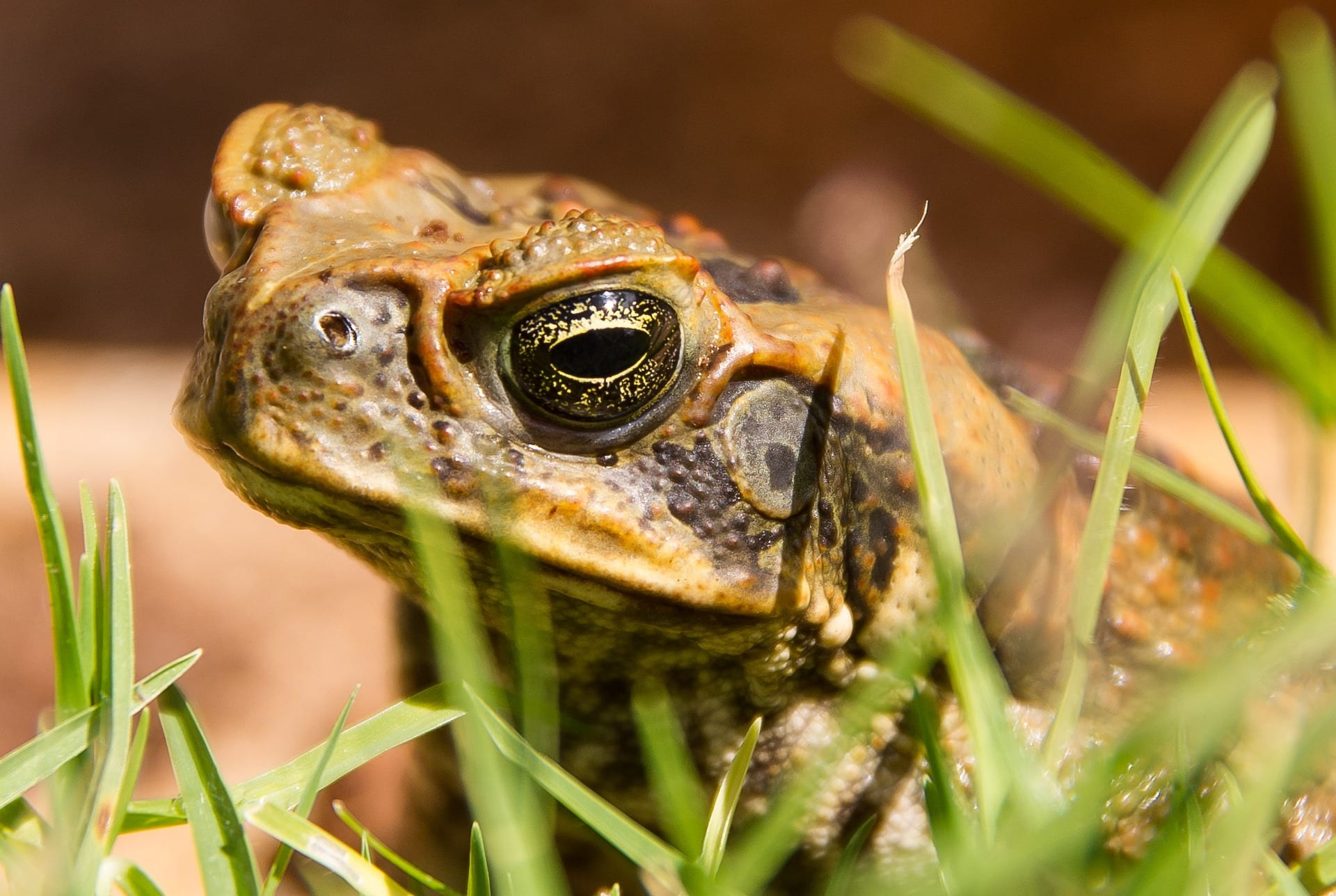 Cane Toad in a field