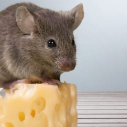 Mouse sitting on block of cheese
